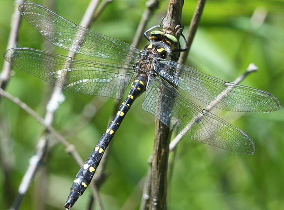 Twin-spotteed spiketail - Cordulegaster maculata - male