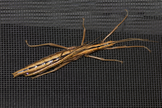 Walking Stick - Anisomorpha buprestoides - male - female