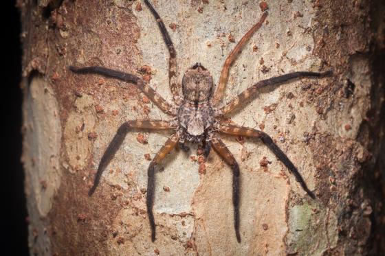 Large huntsman spider - Selenops
