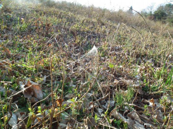 Gossamer threads of ballooning Atypus snetsingeri in unusual habitat - a field - Atypus snetsingeri