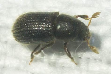 Black bark beetle - Phloeotribus liminaris