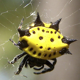 Happy Face - Gasteracantha cancriformis