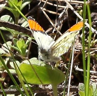 Pieridae: Anthocharis sara - Anthocharis julia