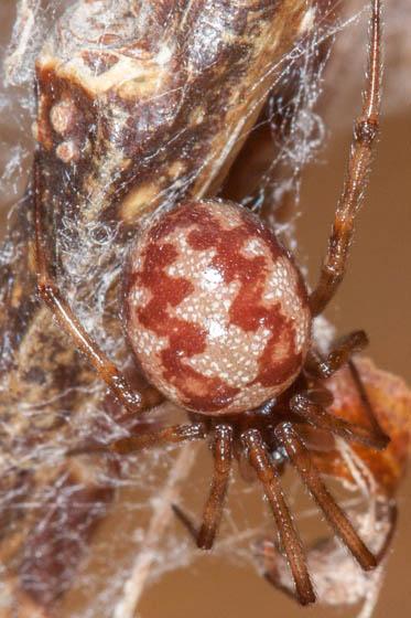 Spider - Steatoda triangulosa