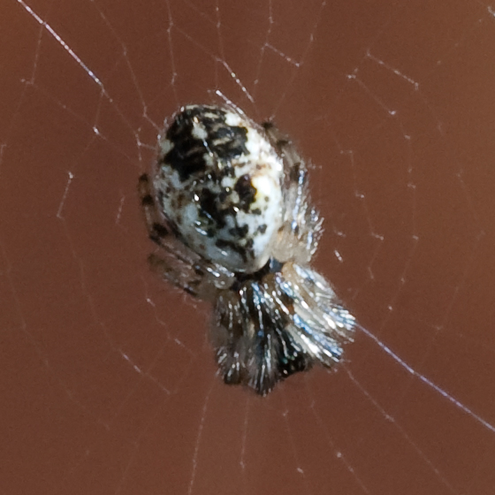 A very tiny spider  - Cyclosa