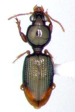 Dyschirius haemorrhoidalis