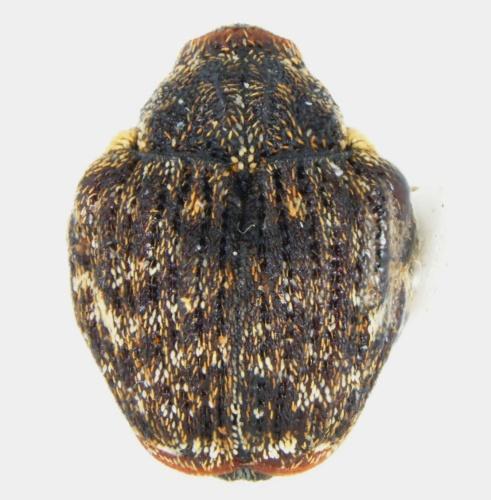 Orchestomerus - Orchestomerus eisemani