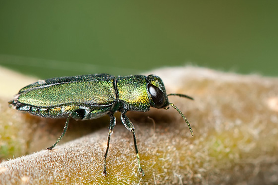 Woodboring Beetle - Anthaxia caseyi