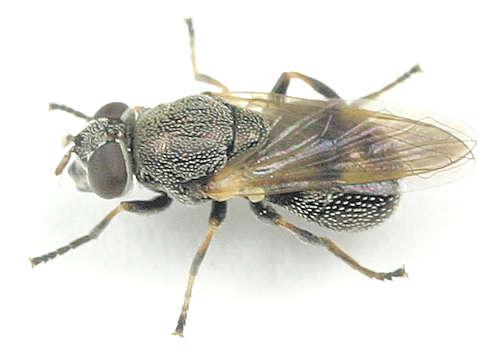 Myolepta --? - Myolepta strigilata - female