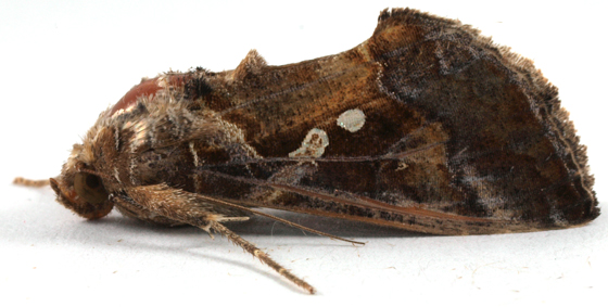 Moth to blacklight - Chrysodeixis includens