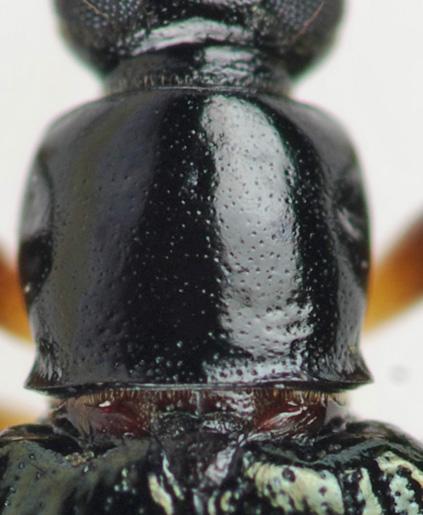 Darkling Beetle - Statira basalis