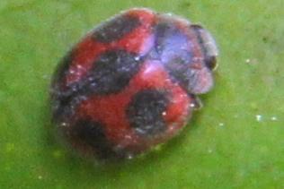 Rodolia cardinalis? - Novius cardinalis