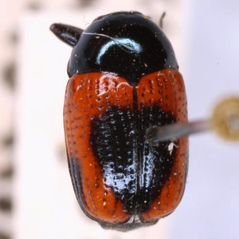 Cryptocephalus notatus Fabricius  - Cryptocephalus notatus