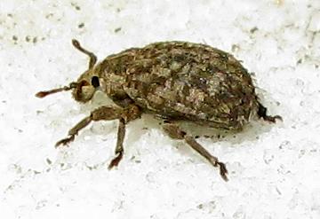 Weevil - Romualdius scaber - female