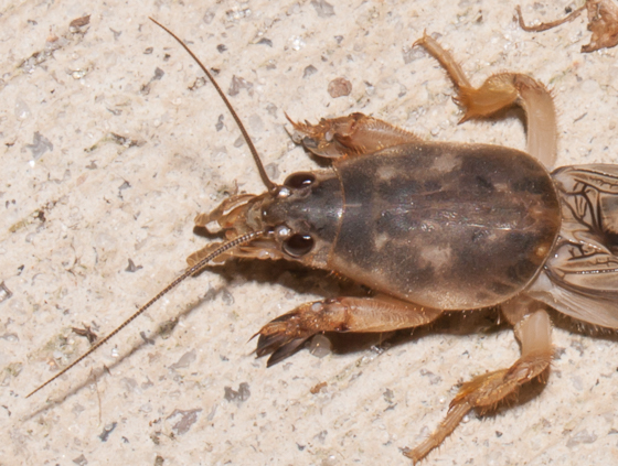 Unknown mole cricket - Neoscapteriscus borellii
