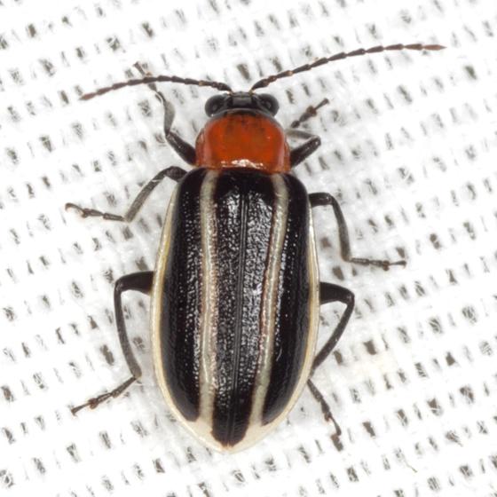 Skeletonizing Leaf Beetle - Acalymma vinctum