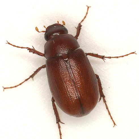 Diplotaxis frondicola (Say) - Diplotaxis frondicola
