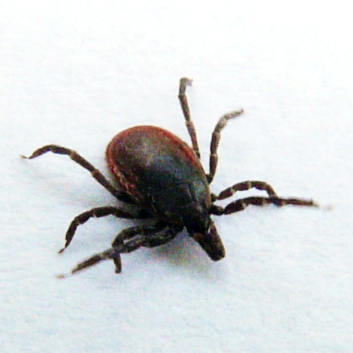 Yikes - Ixodes scapularis - female