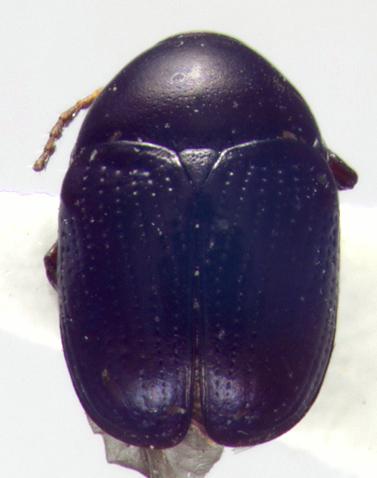 Chrysomelidae, dorsal - Lexiphanes saponatus