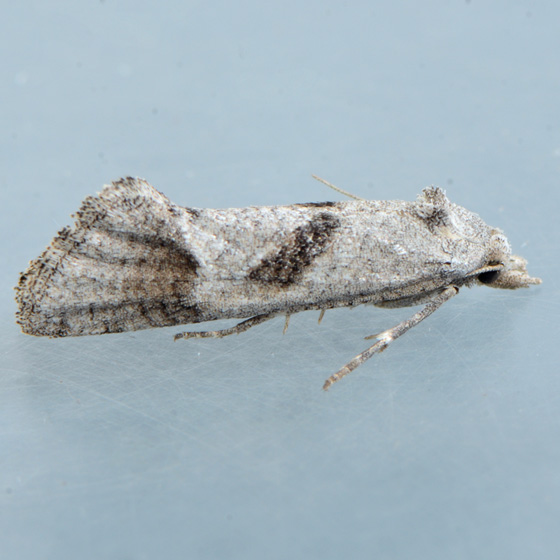 Moth for ID  - Eugnosta busckana