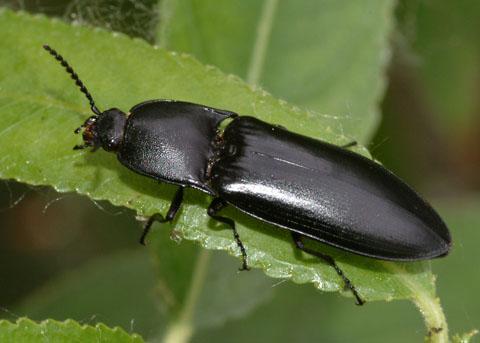 Black beetle - Melanactes densus