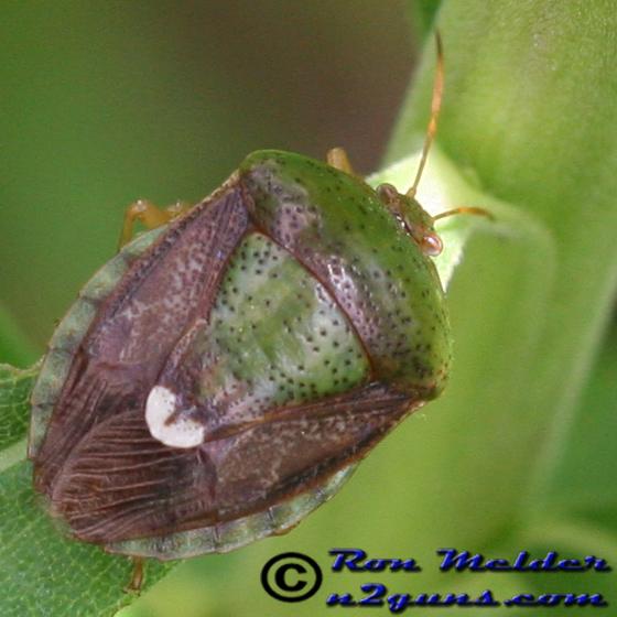 Stink Bug - Edessa bifida