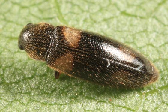 small beetle - Spilotus quadripustulatus