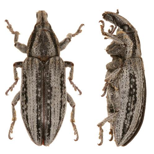 Unknown weevils 3 - Scaphomorphus frontalis