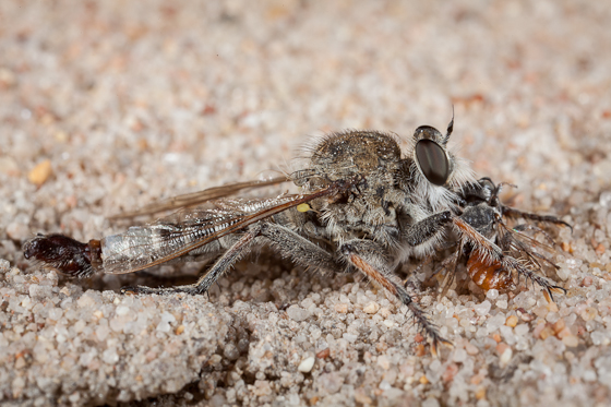 Robber Fly (Efferia sp.?) and bee? - male