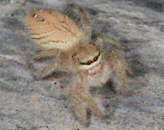 Phidippus tux - female
