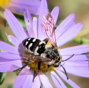 Xeromelecta californica - female