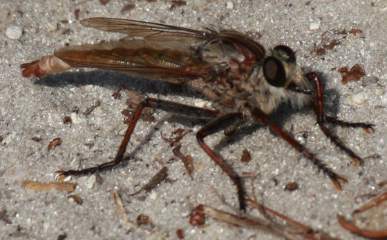 Robberfly maybe Genus Proctacanthus? - Proctacanthus brevipennis