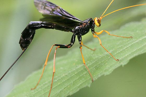 MN - Giant Ichneumons - Megarhyssa atrata - female