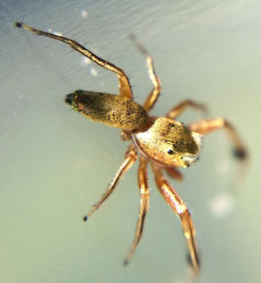 Jumping spider? - Tutelina elegans