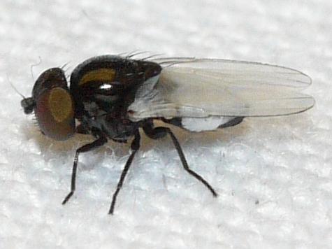 fly - Milichiella arcuata - male