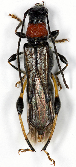 Blood-necked Longhorned Beetle - Callimoxys sanguinicollis - female