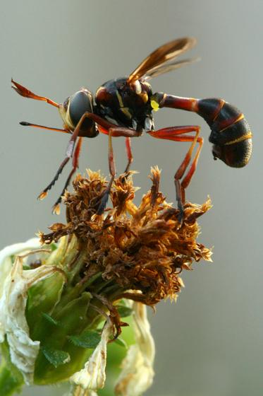 Conopinae: Physoconops or Physocephala? - Physoconops excisus - male