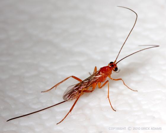 orange red wasp bugguide net