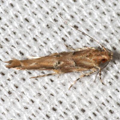 Florida Pink Scavenger Moth - Hodges #1513 - Pyroderces badia