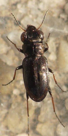 Notiophilus sp. ?  - Notiophilus semistriatus