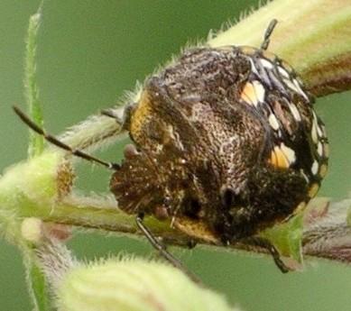 nymph - Thyanta maculata