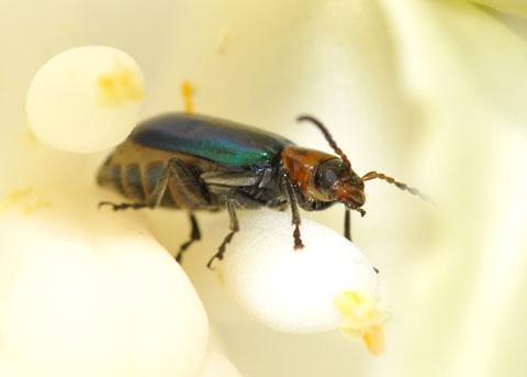 Beetle on Yucca whipplei - Pseudoluperus maculicollis