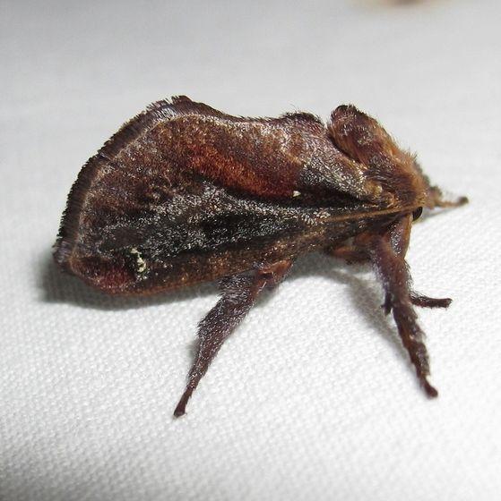 Hodges #4700 -Saddleback Caterpillar Moth - Acharia stimulea