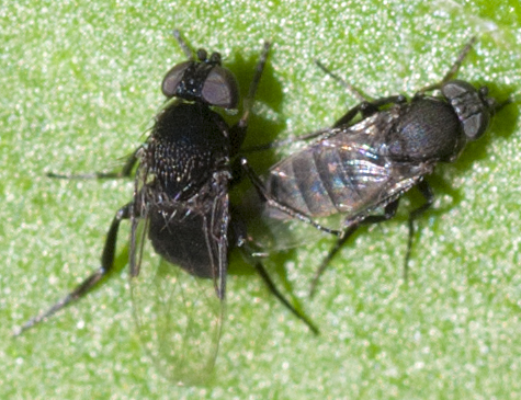 Scuttle Flies mating - Phora - male - female