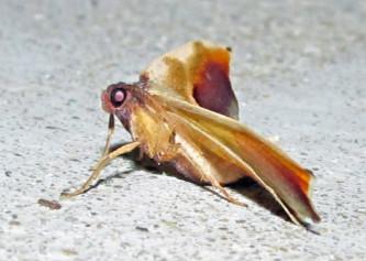 Moth - Plagodis kuetzingi - male