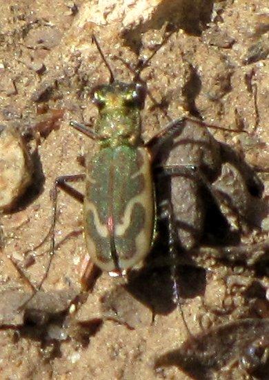 green tiger beetle - Parvindela terricola