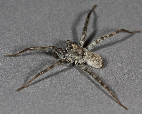 voucher image - Pardosa atromedia - male