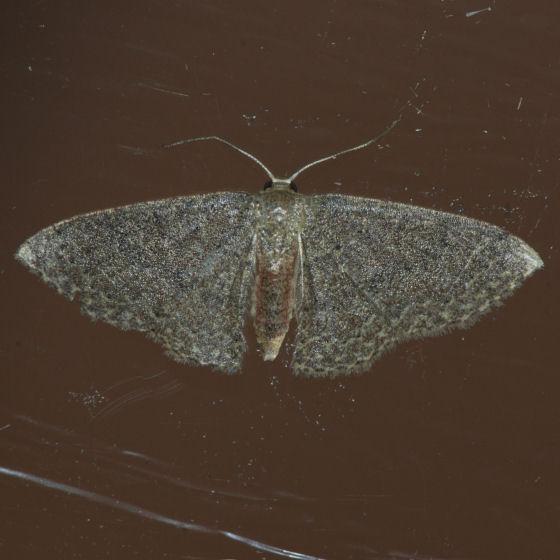 7133  Asthene Wave Moth ??? - Pleuroprucha asthenaria