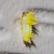 Insect? - Acharia stimulea