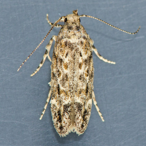 Moth for ID  - Symmetrischema